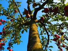 apple-tree-694014__180