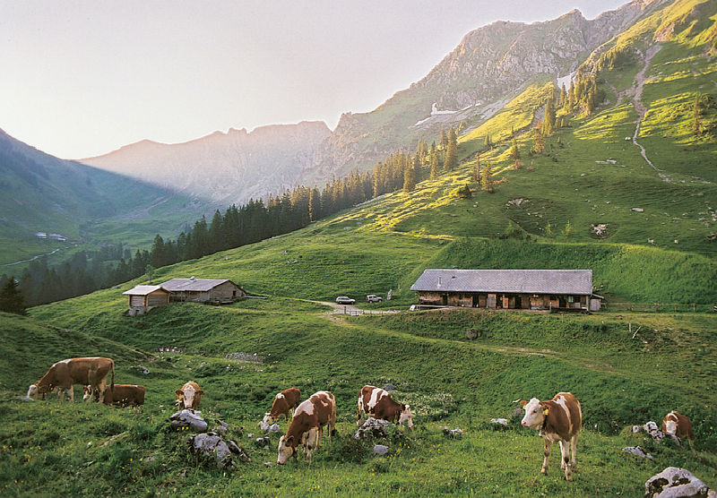 Kühe-auf-der-Alp-am-weiden