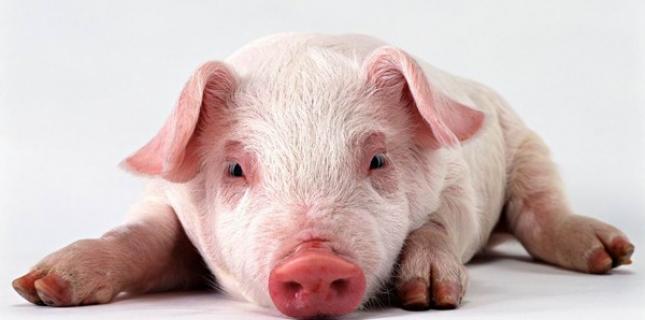 Cours du porc en baisse